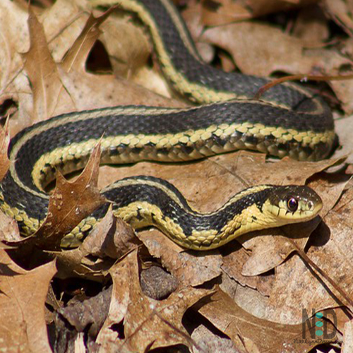 Common Garter Snakes Emerge From Hibernation - Around a week before St Patrick's Day common garter snakes emerge from hibernation in Wisconsin