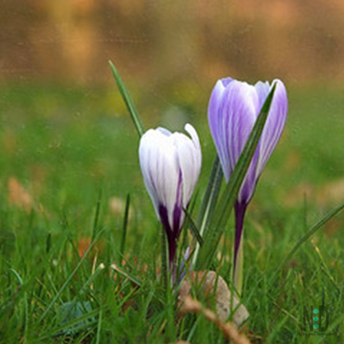 Crocus Flowers Wildflower