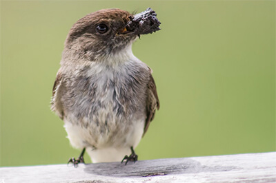 The Eastern Phoebe in Wisconsin collects mud to build it's nest. It often nests on human structures such as bridges and buildings. Nesting activity may start as early as the first days of April.