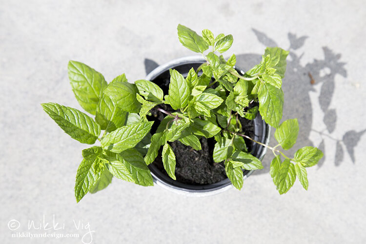 Growing Mint - During the summer months the mint is out mixed among my flower garden. Word of warning, it spreads everywhere. If you want to contain it, plant it in a container. During the winter months, I dug up and pot some mint for my kitchen table or counter. Frequent harvesting is the key to keeping mint plants at their best. Right before flowering, cut the stems 1 inch from the ground.