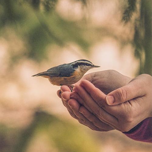 Handfeeding Chickadees and Nuthatches