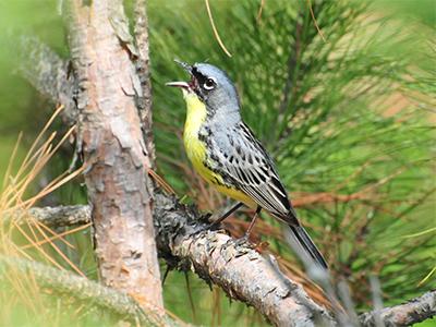 Male Kirtland's Warbler