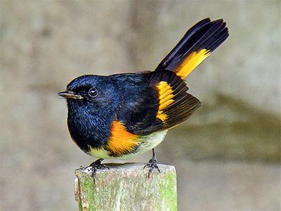 Black and Orange Warbler
