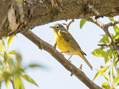 Nashville Warbler - Yellow, Gray Warbler With White Eye Ring Wisconsin Warbler