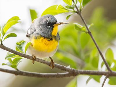 Yellow, Gray White Warbler With White Eye Ring Wisconsin Warbler
