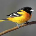Our Baltimore Orioles are Back