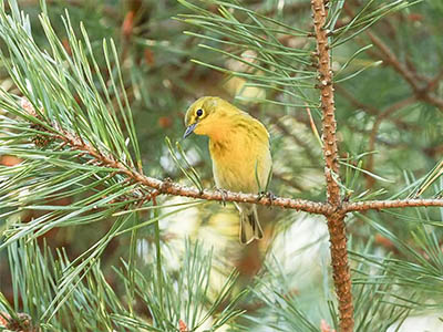 Pine Warbler in a pine tree.