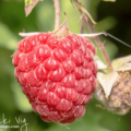 My summer love is red ripe raspberries. Growing an endless supply of red ripe raspberries is a skill and love that was passed on to me by my Great Grandfather Herbie.
