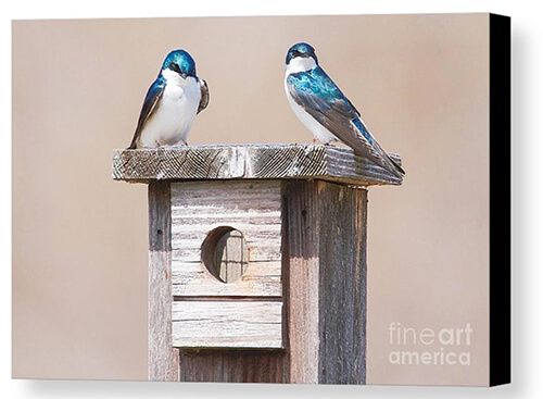 The Tree Swallows Have Arrived -The tree swallows have arrived back in Wisconsin. They normally arrive mid-March through first two weeks of April. I was out scouting yesterday to see what animals were coming out of hibernation or back for the season