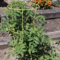 There are several ways to cage or stake tomatoes and each one boils down to matter of gardeners preference.