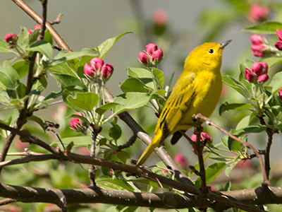 Yellow Warbler - Adult Male: Upper parts bright yellowish olive-green, brightest on rump; forehead bright yellow; front of crown sometimes tinged with orange; wing-feathers edged with yellow; underparts yellow; breast and belly streaked with rufous coloring.  Adult Female: Upper parts yellowish-green, darker than in the male; lighter on forehead and rump; underparts paler and duller, usually unstreaked.