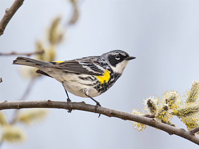 Yellow rumped warbler -  The male Yellow-rumped Warbler in Spring and Sunimcr has a yellow patch on the crown, and either side of the breast; upperparts bluish-gray, streaked with black; two white wing-bars; tail black, with gray edgings; outer pair of tail-feathers with large spots of white.  Adult Female is similar but smaller, and colors duller; upperparts browner; breast simply streaked with black. The breast and upper belly are heavily marked with black.