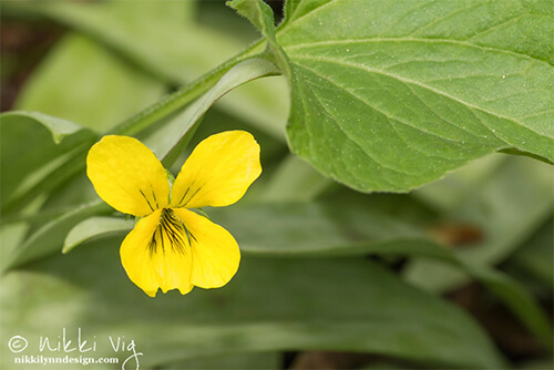Downy Yellow Violet is found in woodland areas during the months of April and May in Wisconsin. They like rich, dry soil.