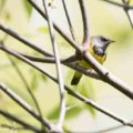What do you want ? - Grey, black and yellow warbler - wisconsin wildlife photography for sale