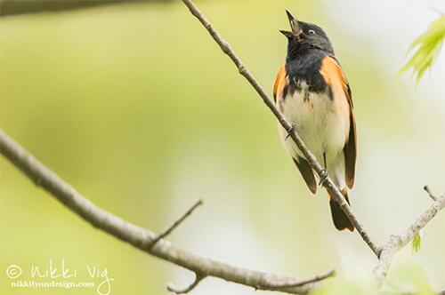 Gotta Catch 'Em All - American Redstart Warbler