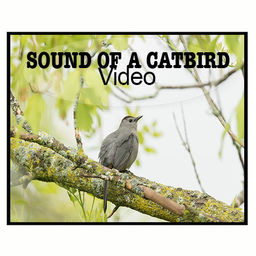 Sound of a Grey Catbird