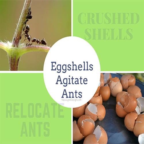 Eggshells Agitate Ants