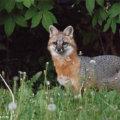Gray Fox Wildlife Photography Art Print