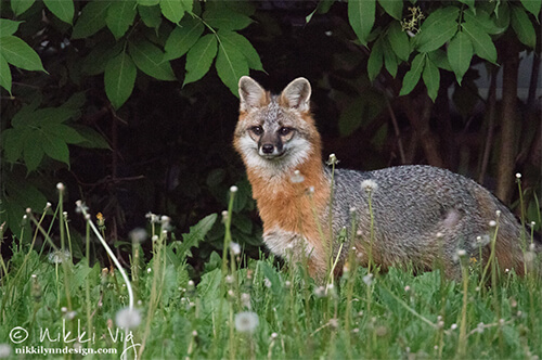 Gray Fox Wildlife Photography Art Print