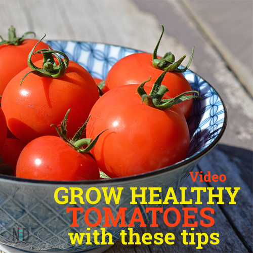 Tomato Watering Tips Video - Keep tomatoes happy - when to water, how much and an easy watering solution.