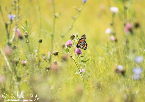Internal Clock - Monarch butterfly on wildflower wildlife wall art print photography