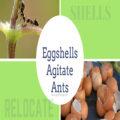 Organic Way to Get Rid of Ants on Plants - Eggshells Agitate Ants