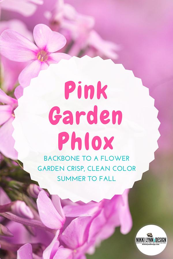 Pink Garden Phlox - Crisp, Clean Color Summer to Fall for Flower Gardens
