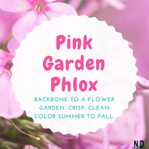 Pink Garden Phlox - Crisp, Clean Color Summer to Fall for Flower Gardens