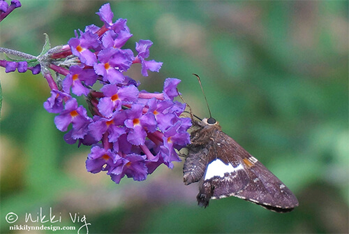 Silver Spotted Skipper Butterfly Wildlife Photography Art Print