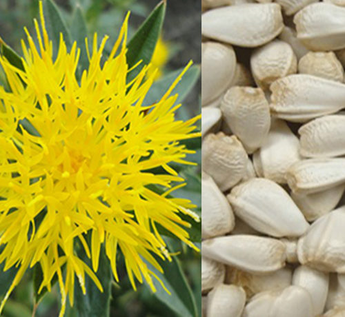 Picture of yellow safflower and the pale yellow seeds the flower produces. Birds love the seeds at feeder