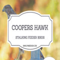 The coopers hawk in my garden. The bird feeder birds are an easy target for hawks, they will stand back and watch the songbirds and strike.