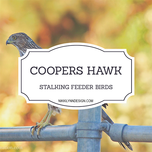 The coopers hawk is often found in backyards. The bird feeder birds are an easy target for hawks, they will stand back and watch the songbirds and strike.