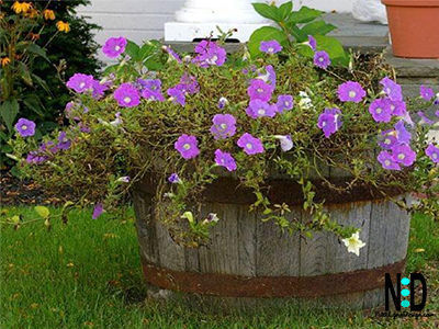 Flowers in a Whisky Barrel Planted with Petunias