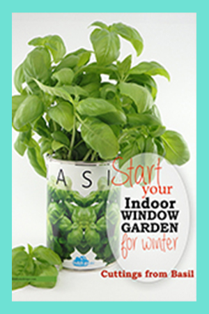 Starting an Indoor Window Garden for Winter Cuttings From Basil