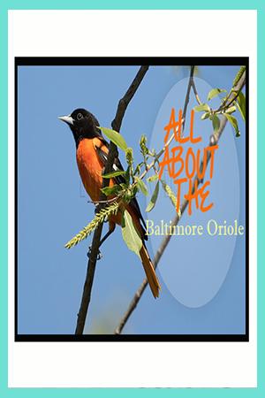 All about the Baltimore Oriole Bird Feeder Bird