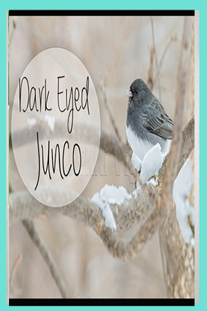All about the Dark Eyed Junco Bird