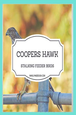Coopers Hawk in Garden