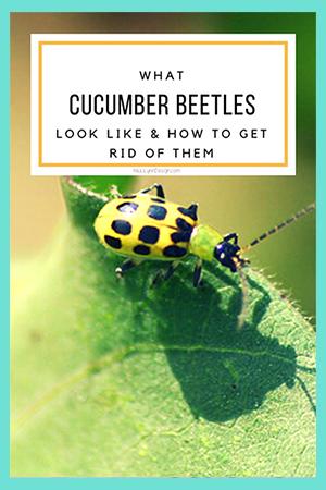 Cucumber Beetle - Yellow bug in garden