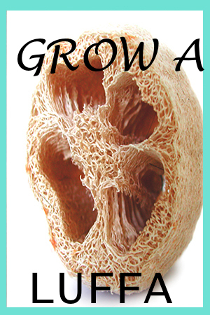 Did You Know You Could Grow Loofahs