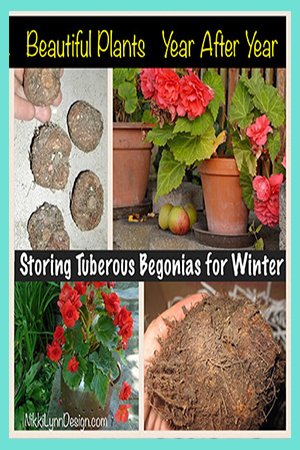 Digging up and Storing Tuberous Begonia for Winter