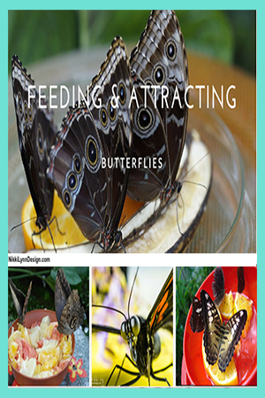 Feeding Butterflies - Fruit - Sugar Water Recipe