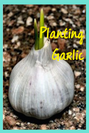 How to Plant Garlic - Fall planting equals a healthy crop next season in the Midwest.