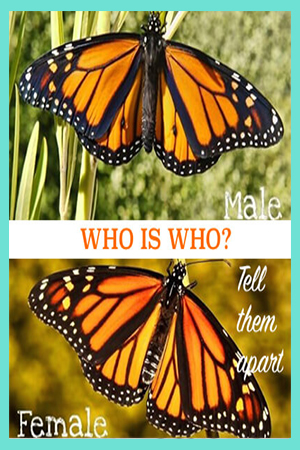How to Tell the Male and Female Monarch Apart