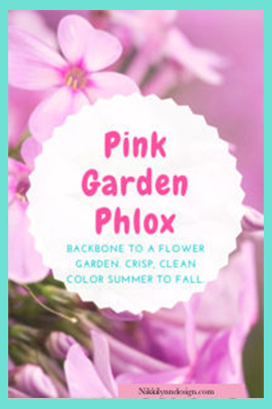 Pink Garden Phlox in Your Flower Garden