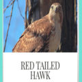 Red Tailed Hawk in Garden