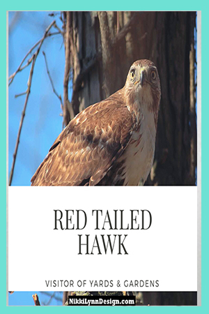 Red Tailed Hawk in Garden