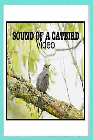 What Does a Catbird Sound Like