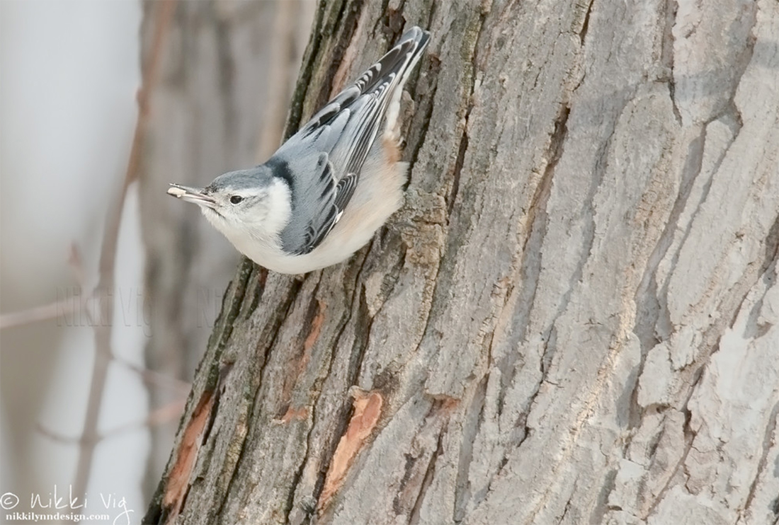 White Breasted Nuthatch - One of my favorite birds to watch are white-breasted nuthatches.  You can always tell when they are around because they have a unique voice. They eat insects, seeds and nuts. During the winter months in Wisconsin, nuthatches actively seek out seed, peanut and suet feeders. Feeders happen to be the perfect place to sit and spend a half an hour with my camera.