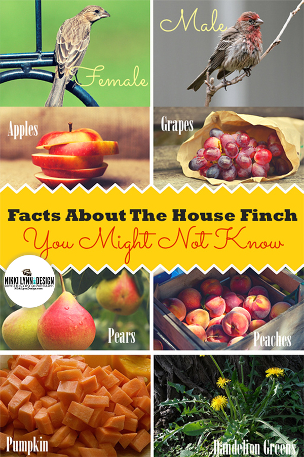 Facts about the house finch you might not know