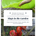 Slugs create plenty of damage to fruits, vegetables, plant leaves and seedlings.  What does the damage look like? How can you get rid of these pests in your gardens?
